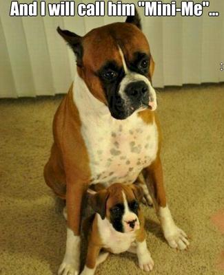 Boxer dog and mini boxer dog